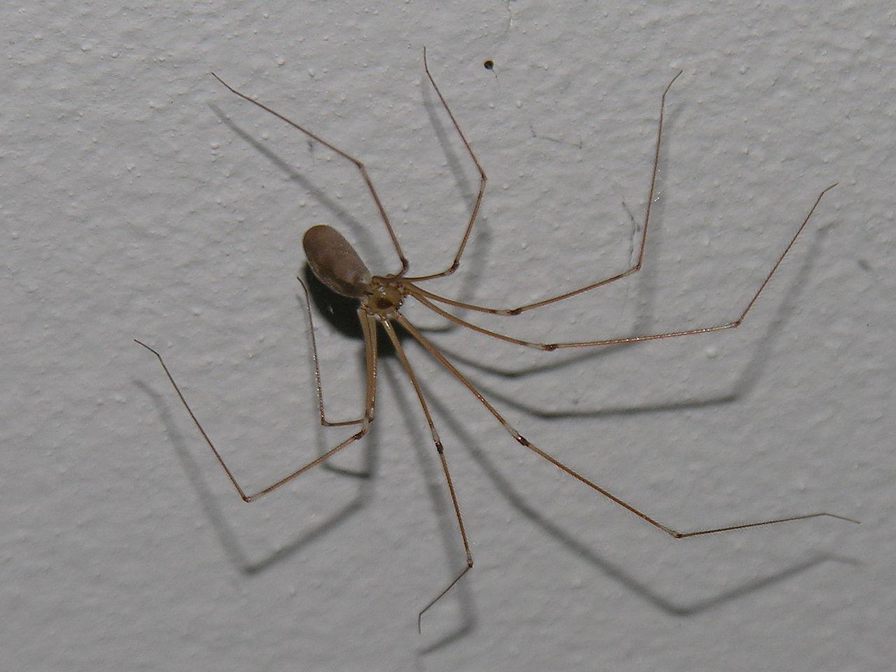 Araña-patona13