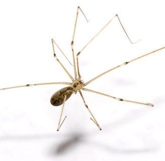 Araña patona: Conoce sus carácterísticas y mucho más