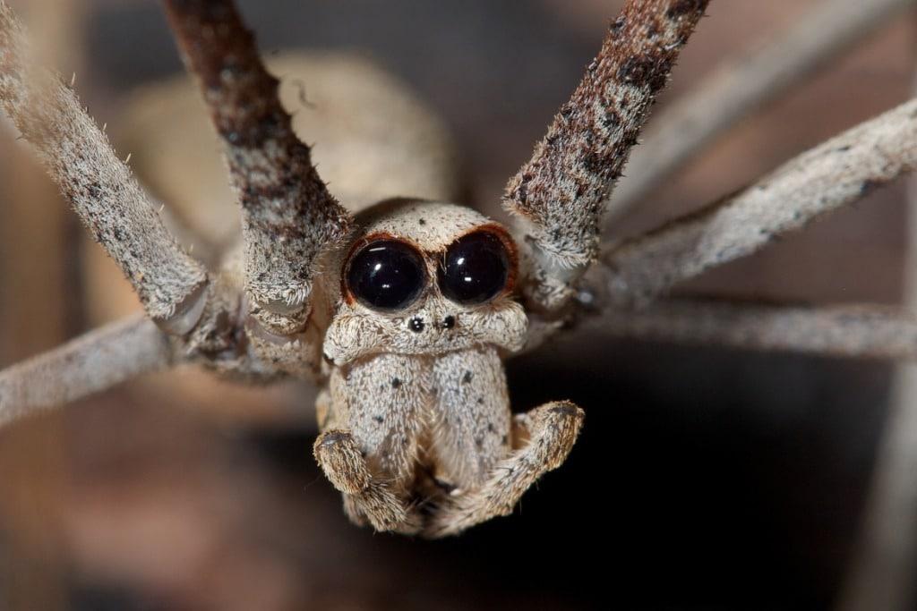 Arañas exóticas