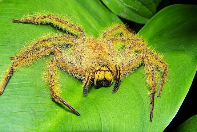 Arañas-exóticas4