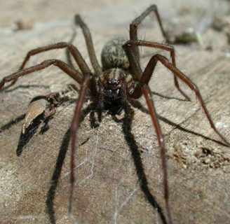 Arañas gigantes del congo: Todo lo que necesitas saber