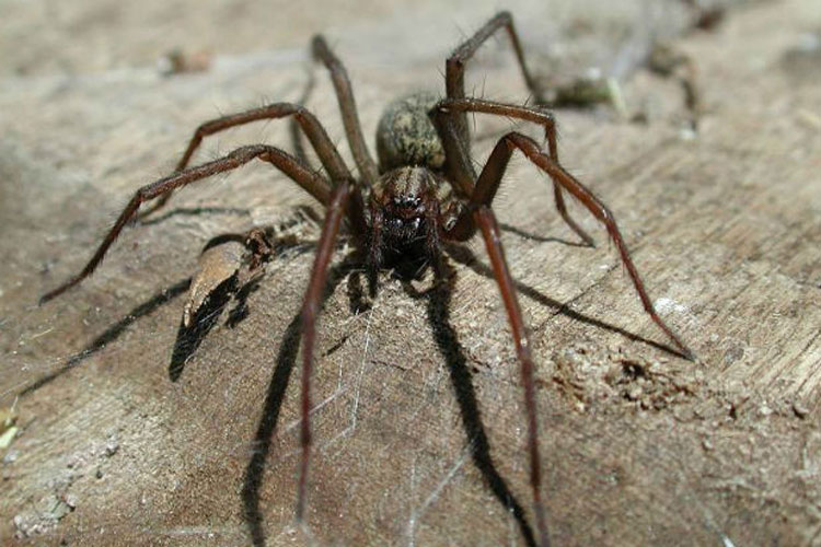 arañas gigantes del congo