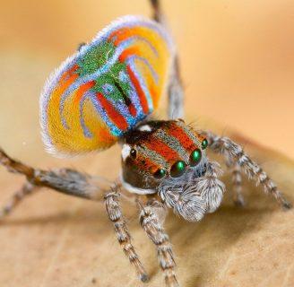 Arañas pavo real: Todo lo que debes saber