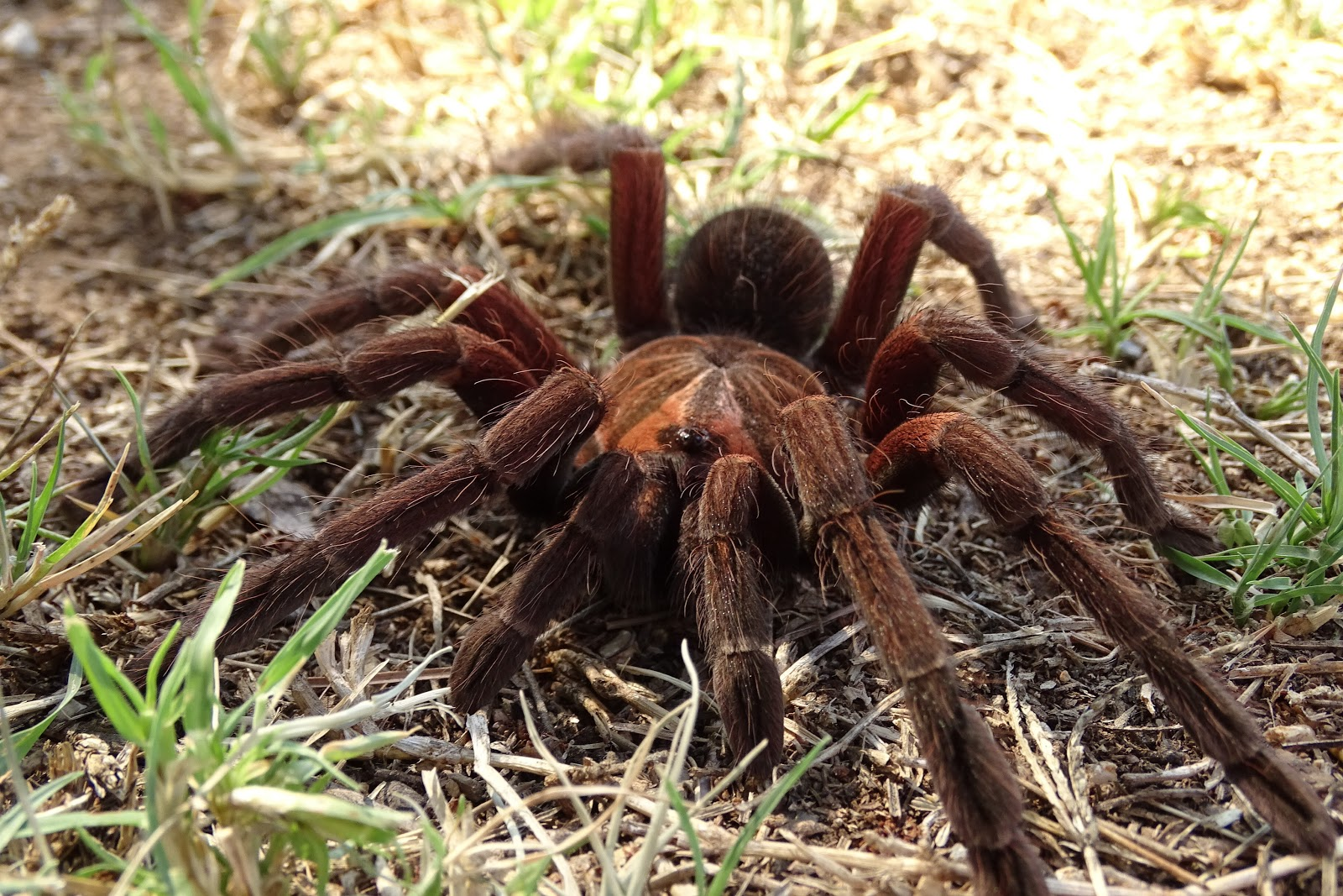 Arañas pollitos
