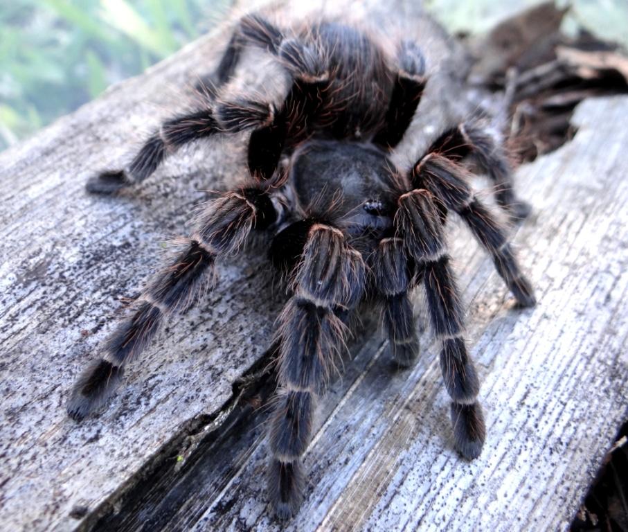 Arañas-pollitos13