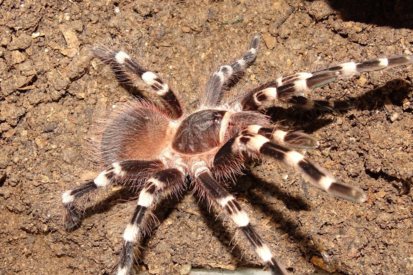 Arañas-pollitos4
