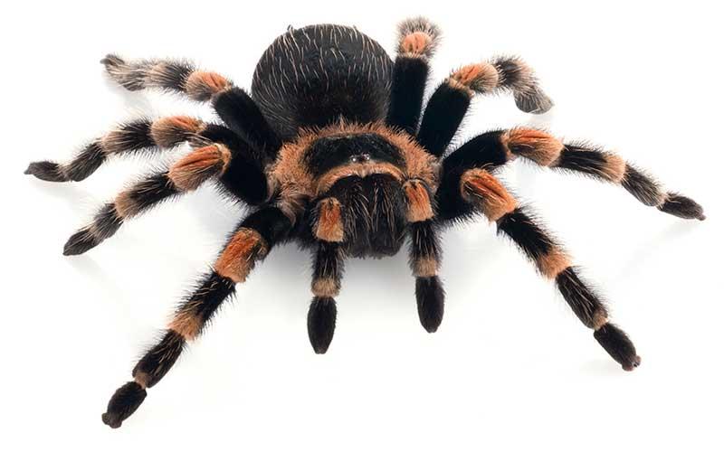 Arañas-pollitos9