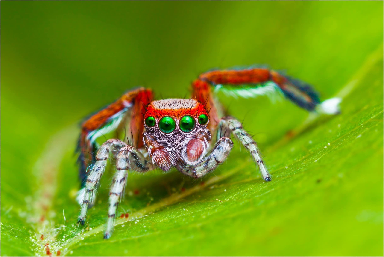 Arañas-saltarinas2