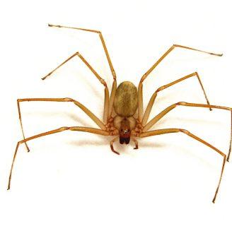 Arañas violinistas o araña de los rincones: Características, hábitat, y más