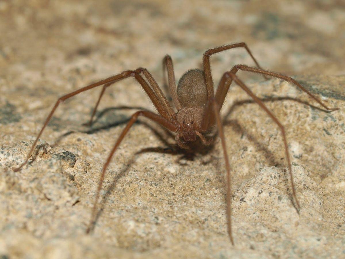 Arañas-violinistas-o-araña-de-los-rincones10