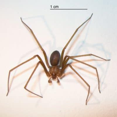 Arañas-violinistas-o-araña-de-los-rincones11