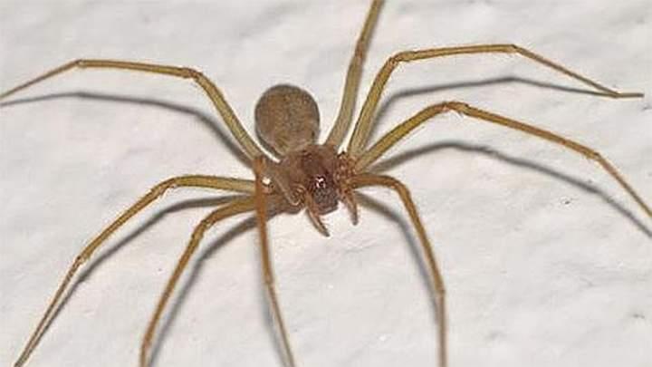 Arañas-violinistas-o-araña-de-los-rincones13