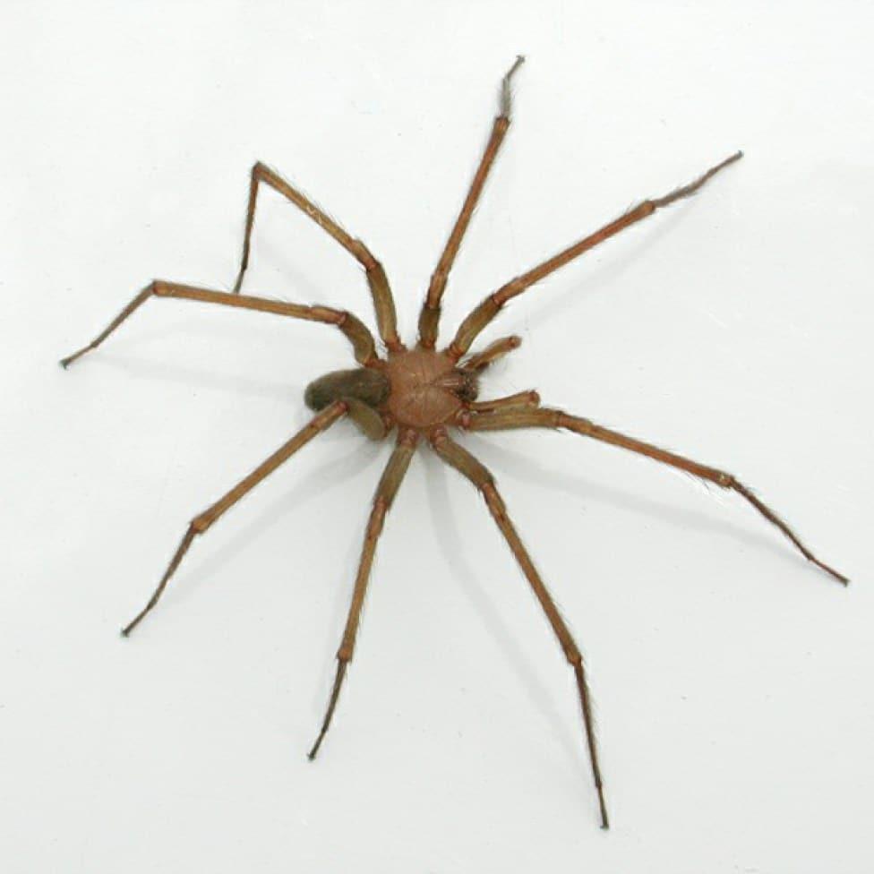Arañas-violinistas-o-araña-de-los-rincones2