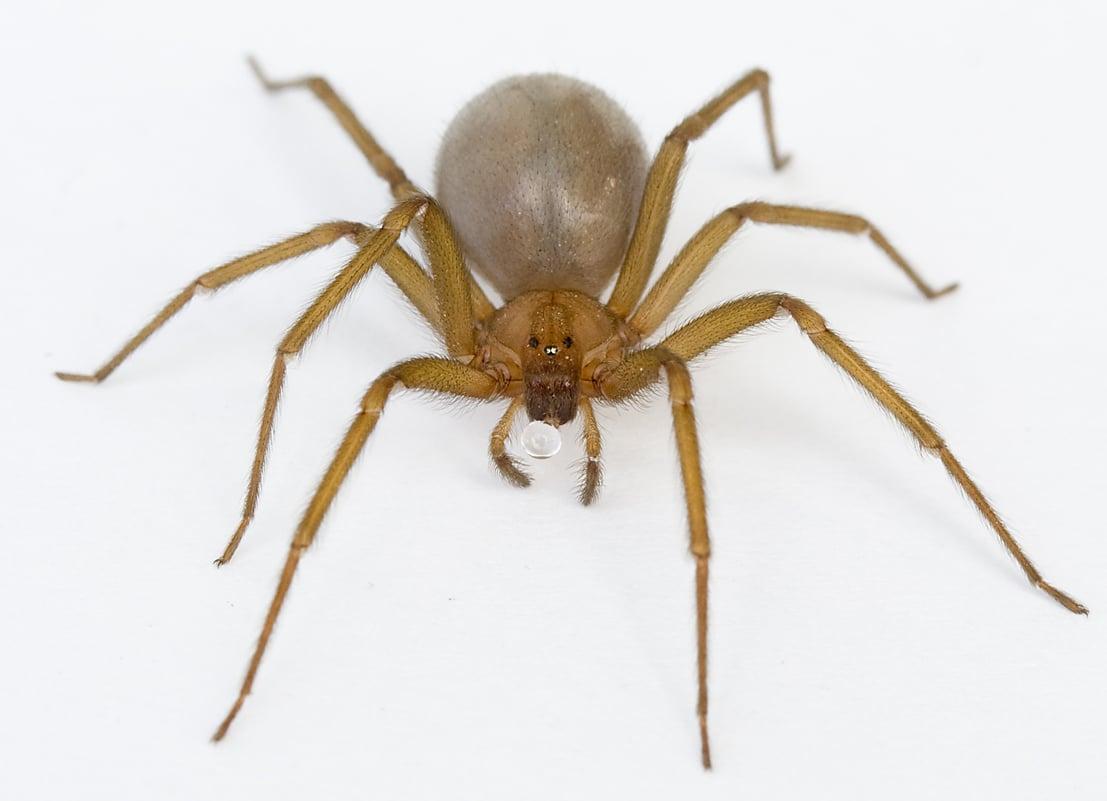 Arañas-violinistas-o-araña-de-los-rincones3