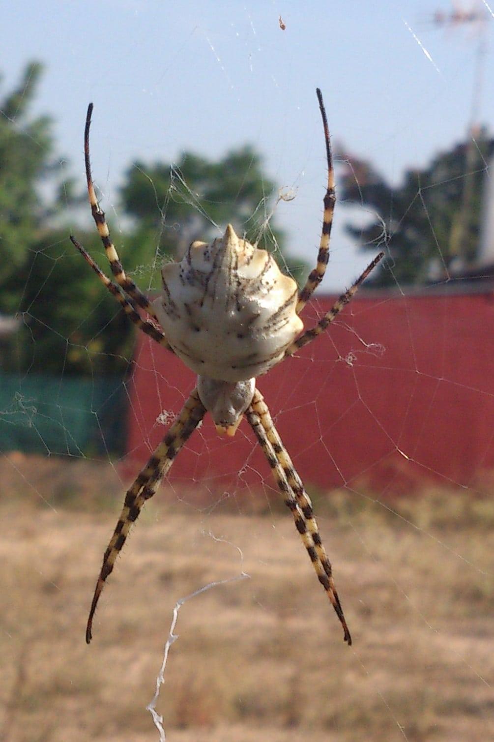 Arañas-voladoras2