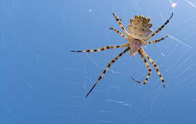 Arañas-voladoras3