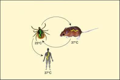 ciclo de enfermedad