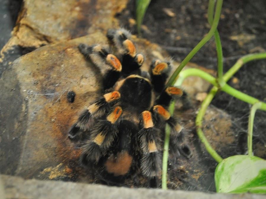 Brachypelma-auratum-o-tarántulas-rodillas-de-fuego10