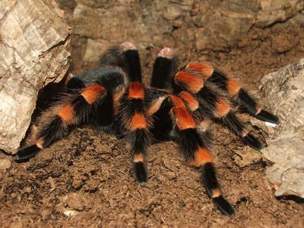 Brachypelma-auratum-o-tarántulas-rodillas-de-fuego9