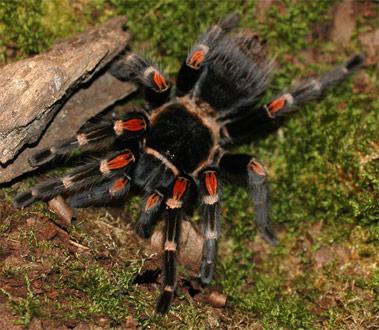 Brachypelma-auratum-o-tarántulas-rodillas-de-fuego8