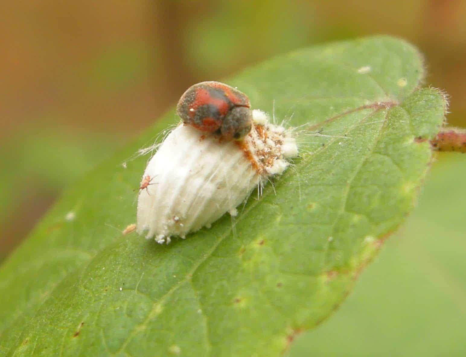 Cochinilla algodonosa tratamiento ecologico