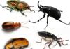 Escarabajos o Coleópteros: Características, alimentación, metamorfosis y más