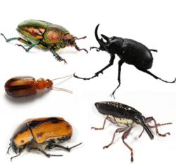 Escarabajos o Coleópteros 1