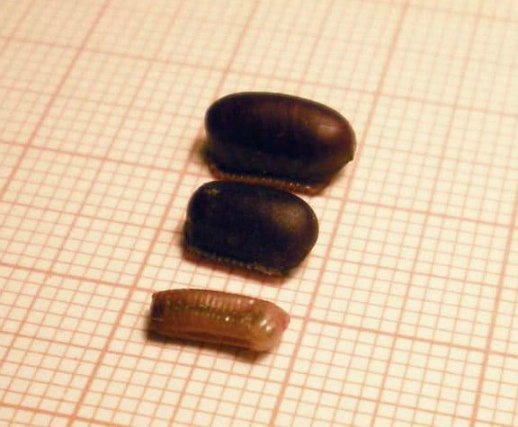 Cuántas-cucarachas-nacen-de-un-huevo3