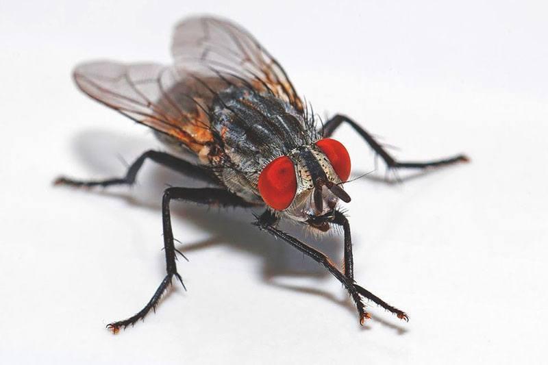Cuánto-vive-una-mosca11