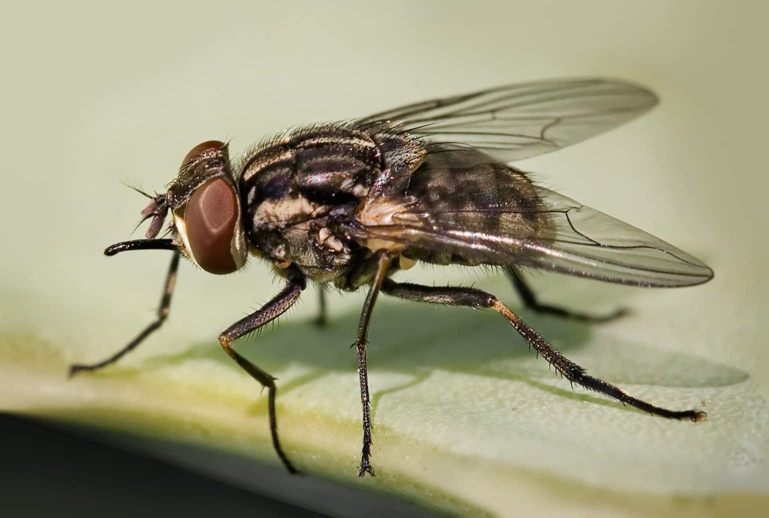 Cuánto-vive-una-mosca12