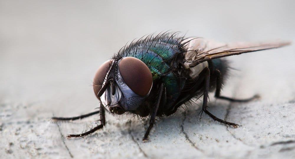 Cuánto-vive-una-mosca14
