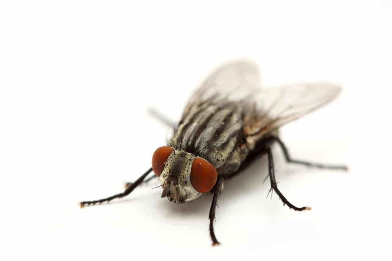Cuánto-vive-una-mosca2