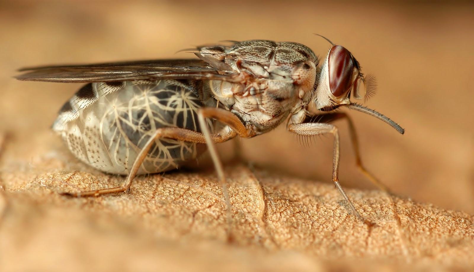 Cuánto-vive-una-mosca6