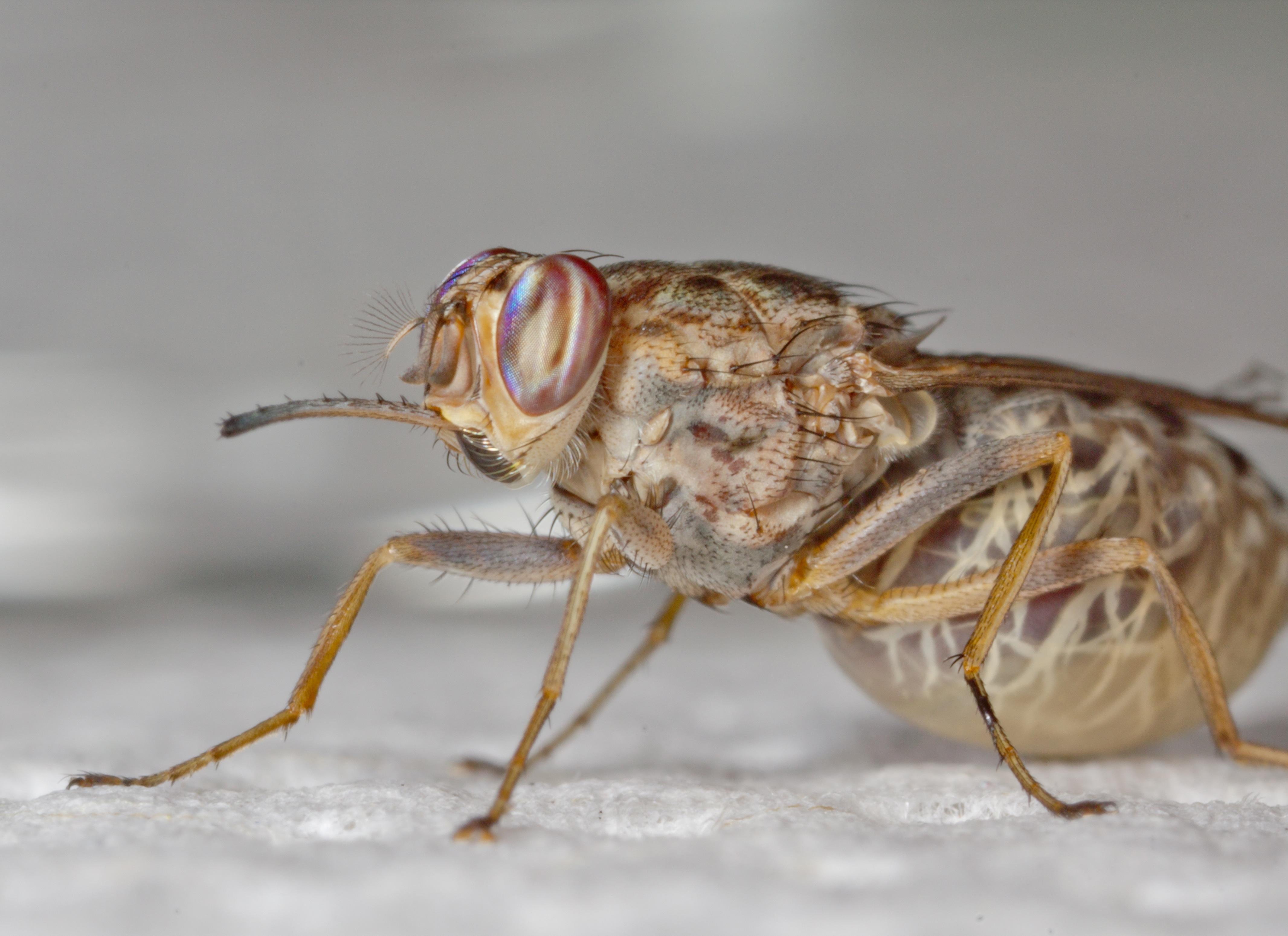 Cuánto-vive-una-mosca7