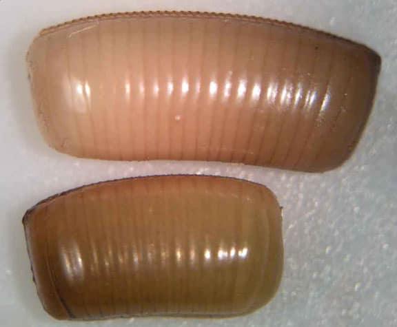 Cuántas-cucarachas-nacen-de-un-huevo1