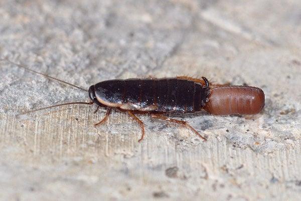 Cuántas-cucarachas-nacen-de-un-huevo2
