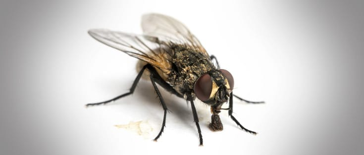 Cuánto-vive-una-mosca10