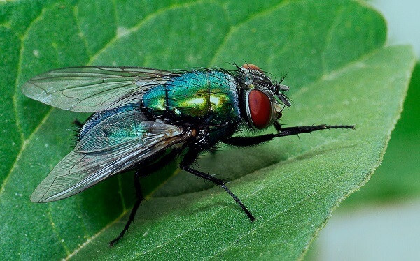 Cuánto-vive-una-mosca13