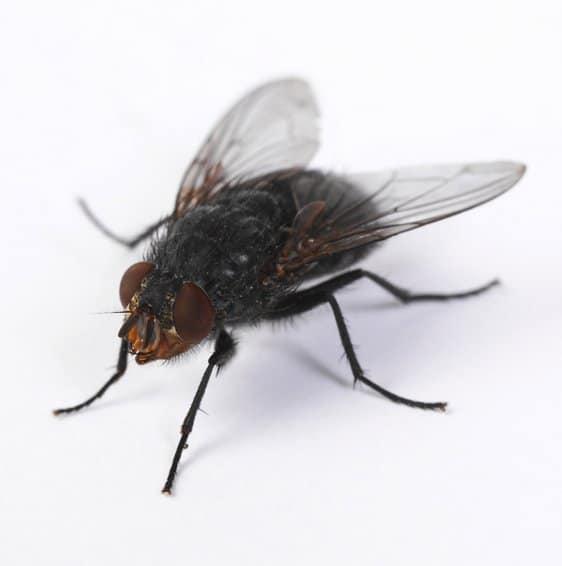 Cuánto-vive-una-mosca16