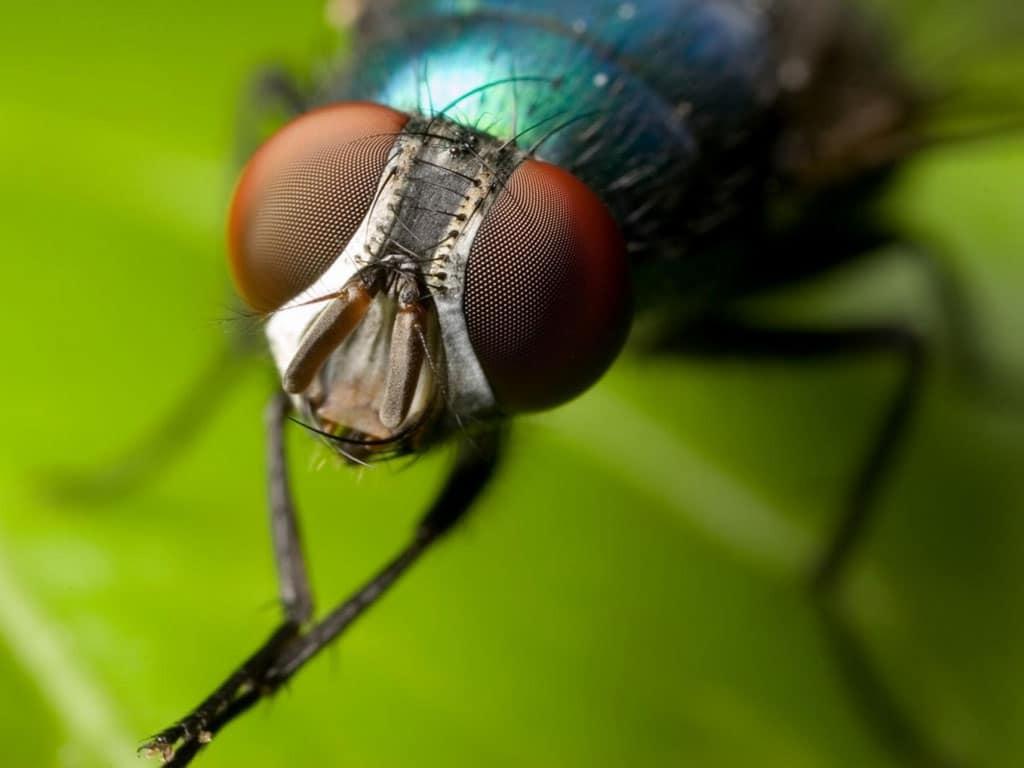 Cuánto-vive-una-mosca3
