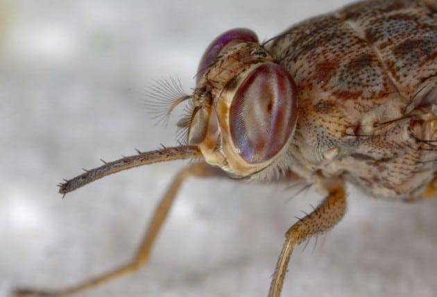 Cuánto-vive-una-mosca9