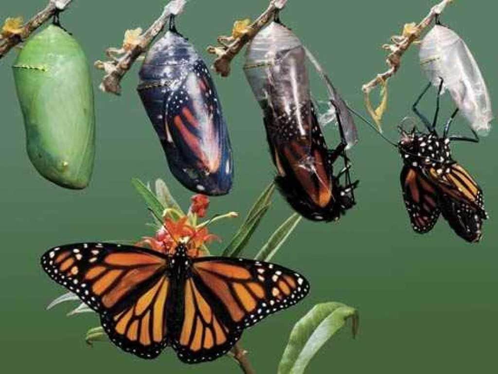 De-oruga-a-mariposa4