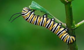 De-oruga-a-mariposa5