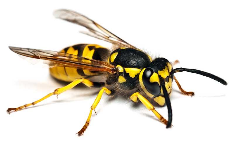Diferencia-entre-abeja-y-avispa1