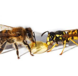 Diferencia entre abeja y avispa