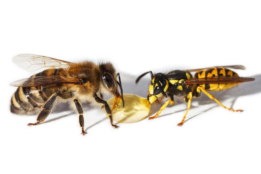 Diferencia-entre-abeja-y-avispa5