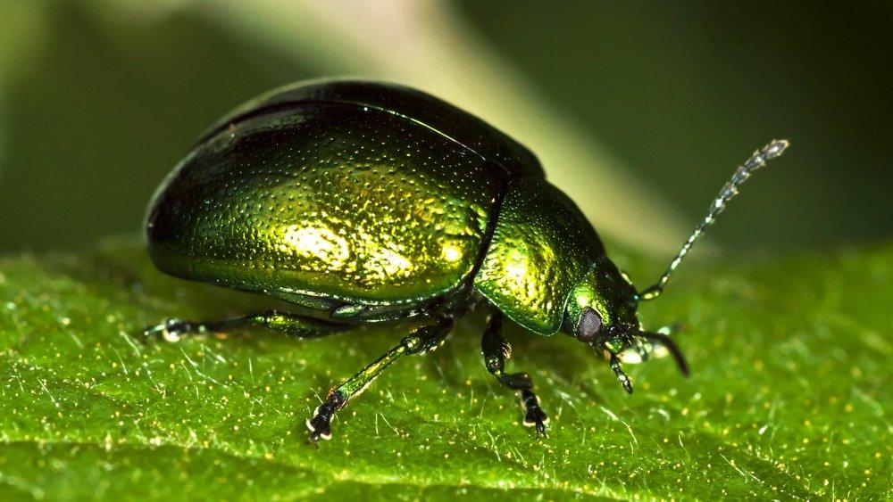 Escarabajo-verde1