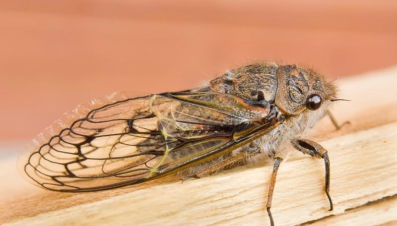 homóptera-21