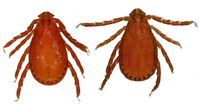 Haemaphysalis