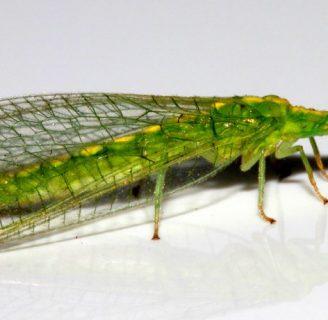 Neuroptera: Morfología, metamorfosis y mucho más